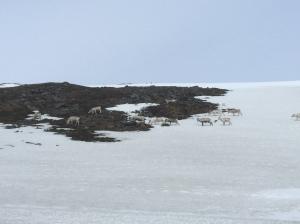 Reindeer herd 2