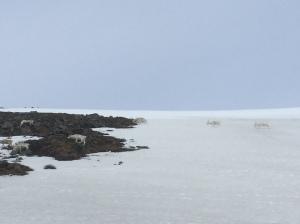Reindeer herd