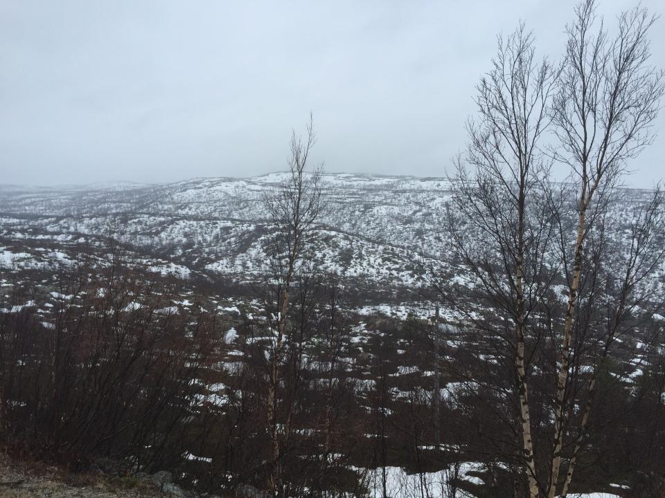 Arctic tundra - silver birch in abundance - bark good for lighting fires incidentally