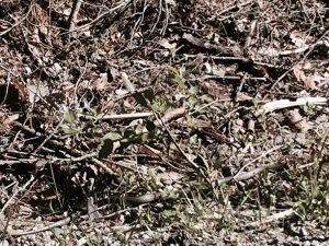 Grass snake slithering along in the sunshine