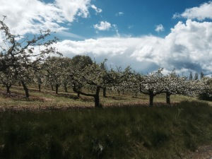 Apple tree orchard - lots of blossom