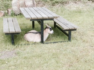Niva campsite goats - friendly varmints