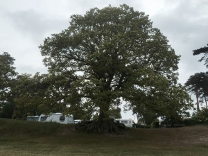 I liked this big Oak Tree