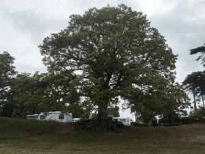 I liked this big Oak Tree