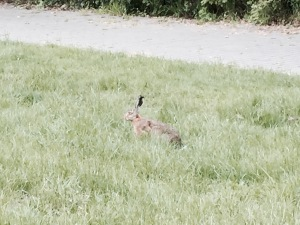 Visit from a Hare in Stadtwaldsee