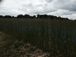 Fields of Barley with cornflowers