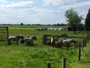 Abundance of ponies - in Germany and Holland