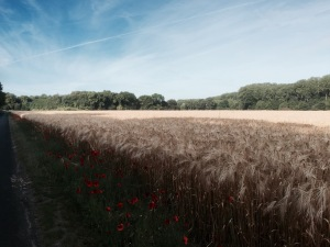 Cycling through more farmland - corn and poppies