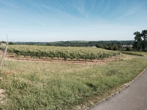 Vineyards near Chateauneuf-sur-Charente