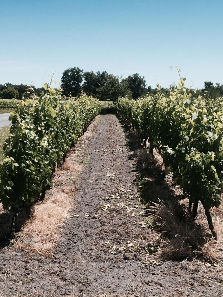 More grapevines