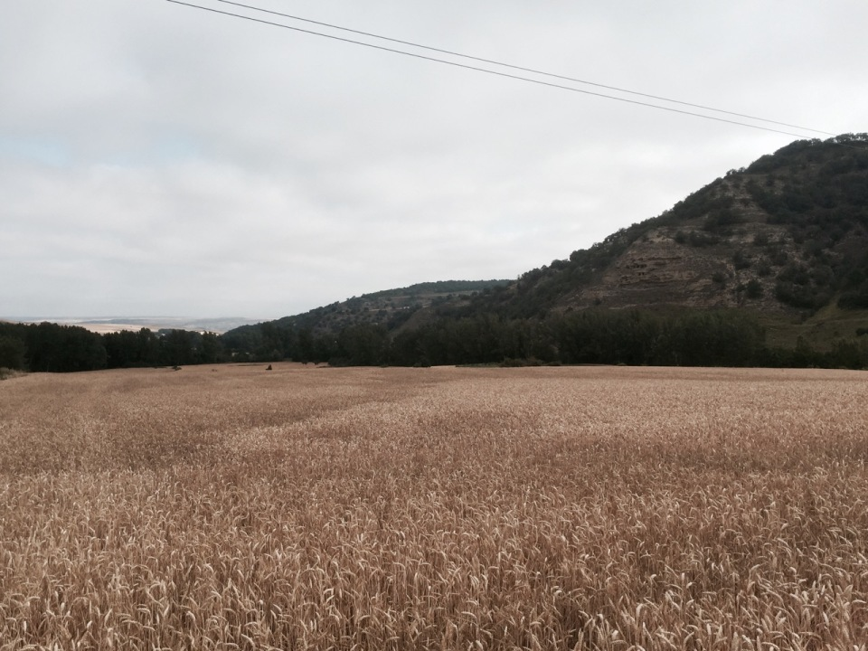 More corn fields on the Camino