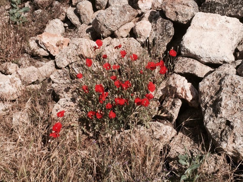 Lots of poppies growing alongside trail