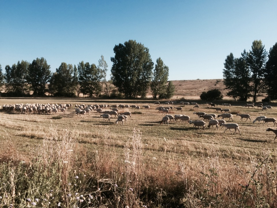 Early rendezvous with sheep and their shepherd