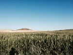 Ride to Salamanca - more fields of sweetcorn