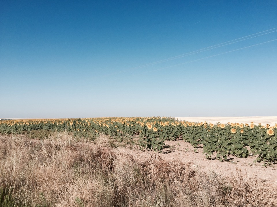 Field of sunflowers to brighten things up