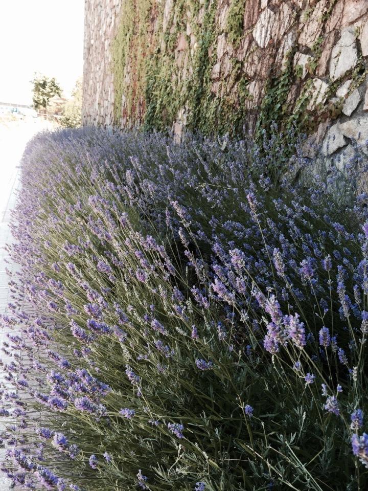 Lavender - smelt nice