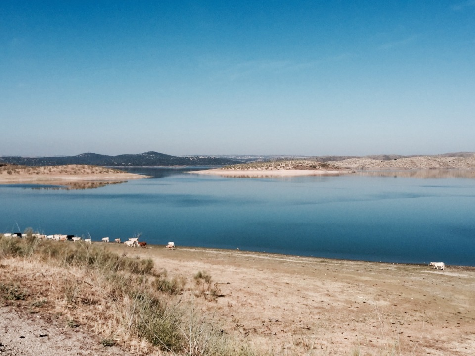 Cows next to Lake, Garrovillas de Alconétar, Extremadura