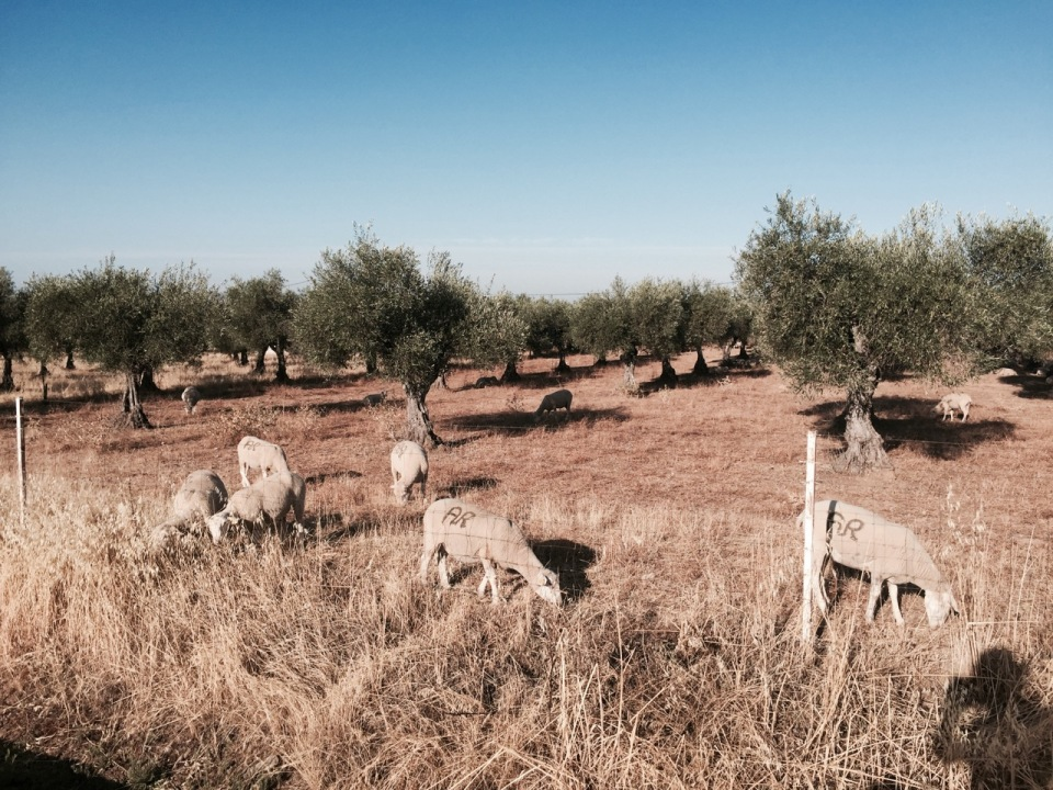 Sheep in an Olive plantation