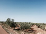 Mile upon mile of Olive plantations