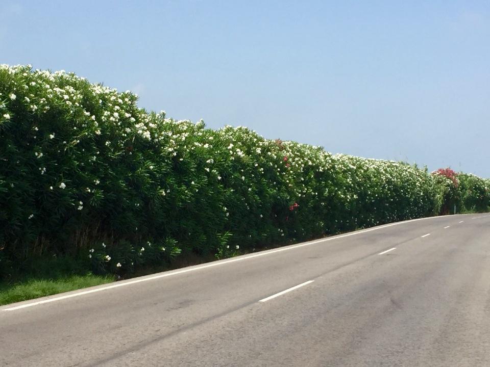 Flowers alongside road 2