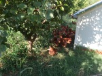 Chickens; Le Champ de la Riviere