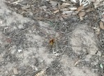 Some kind of hornet type varmint in Le Pradet