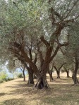 Olive groves 2