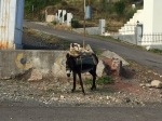 Donkey on the way down to Elbasan