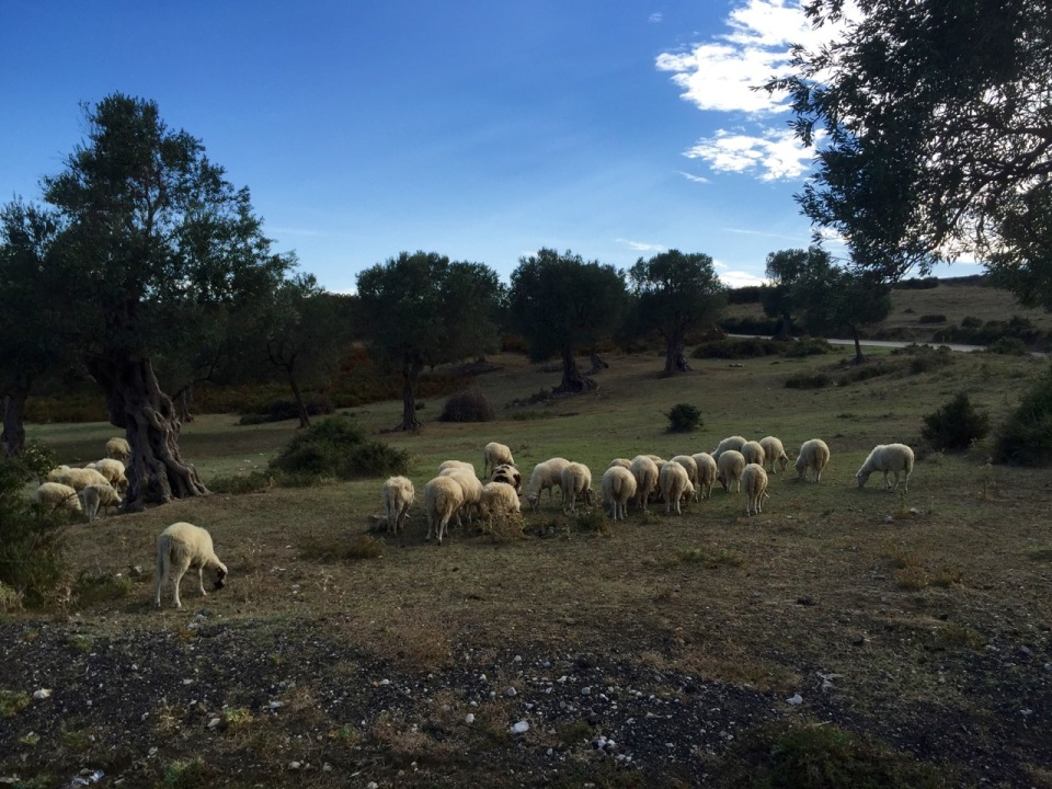 Sheep and Olive trees