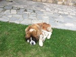 Sleepy St. Bernard at the ski resort hotel