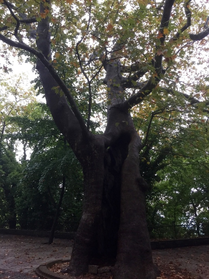 Hollow tree - park in Edessa