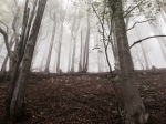 Beech trees in the low cloud