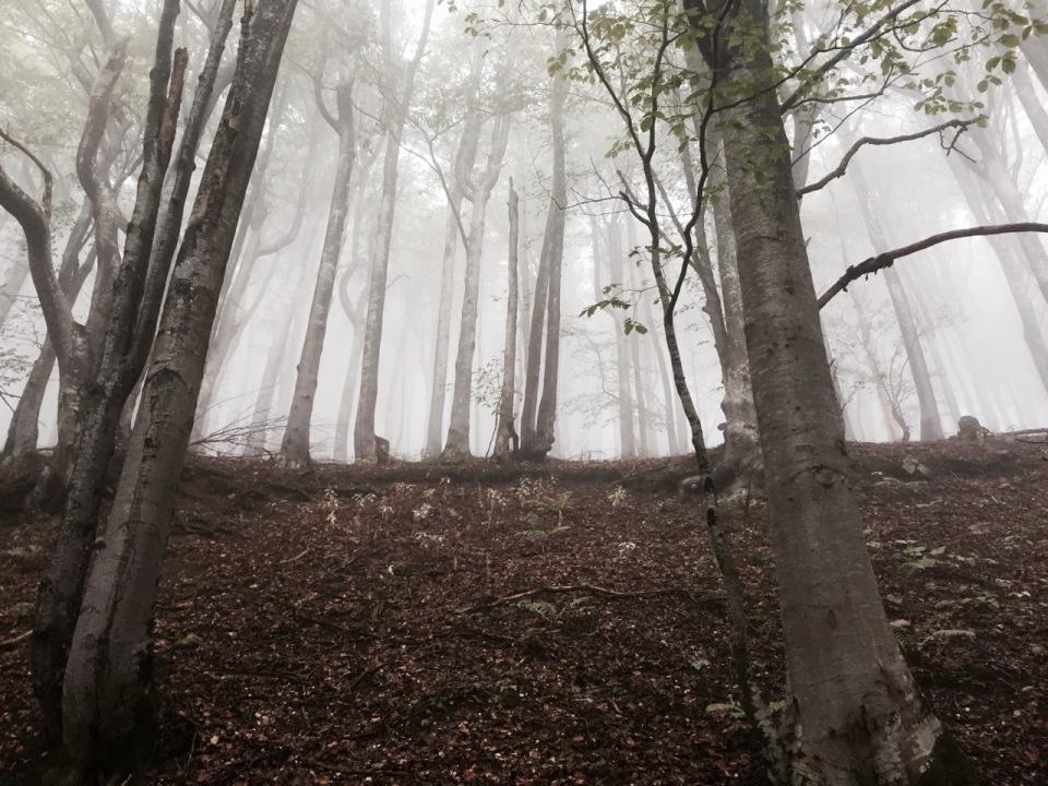 Beech trees in the low cloud