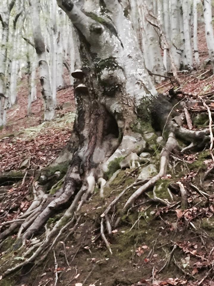 Interesting beech tree with bracket fungus