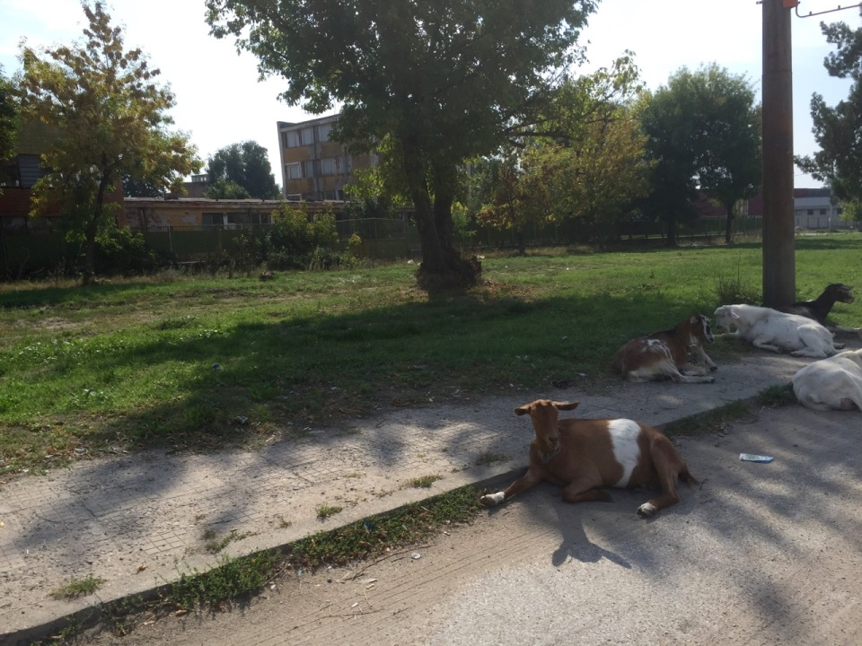 Goats chilling in the shade near Vidin