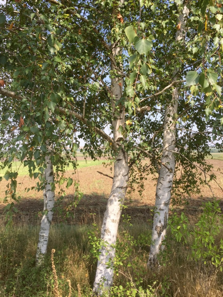 Some nice silver birch during a banana break - shade welcome, it was hot