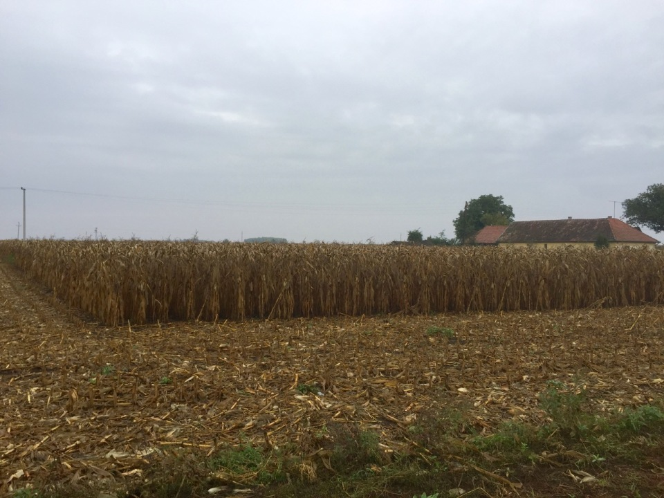 More sweetcorn awaiting harvesting