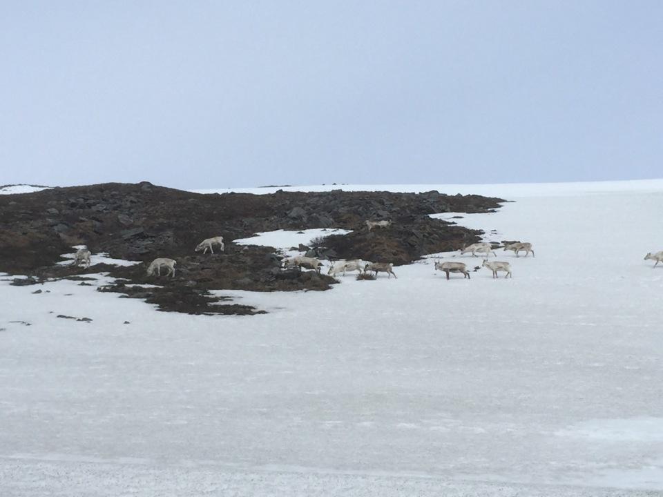 Reindeer on the move near Nordkapp