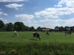 More cows in Germany, these ones were more relaxed