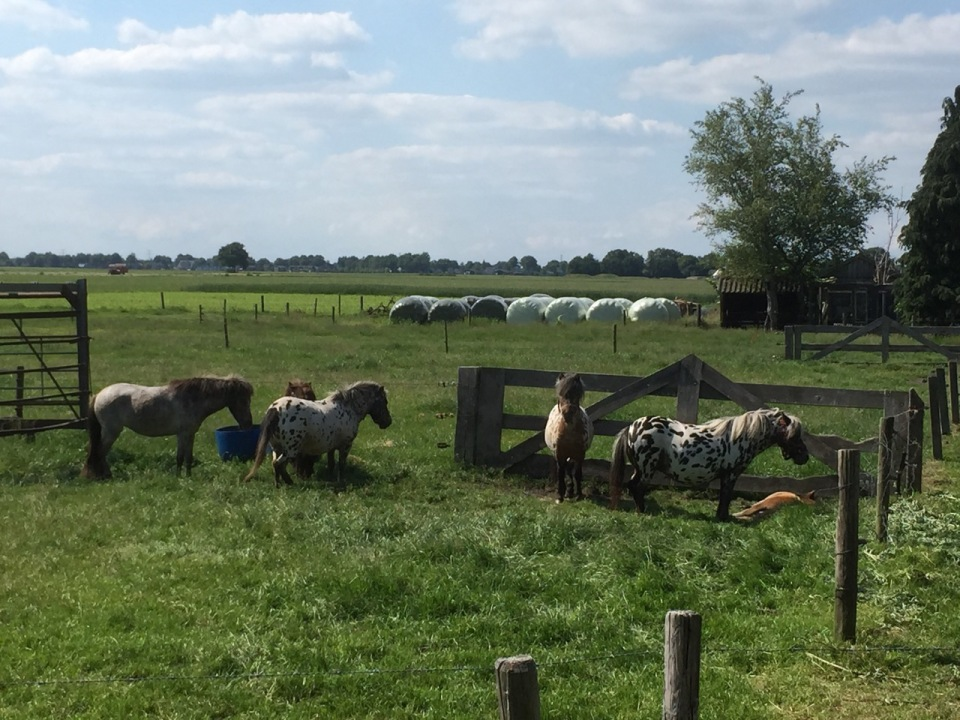 Ponies in The Netherlands