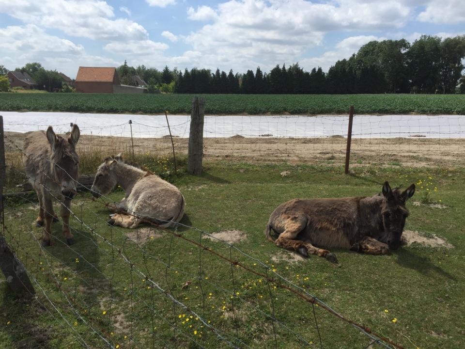 Comfortable looking donkeys in Belgium