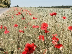 Poppies in France, not far from Paris