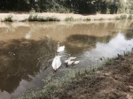 Swans and cygnets on a canal near the Loire in France