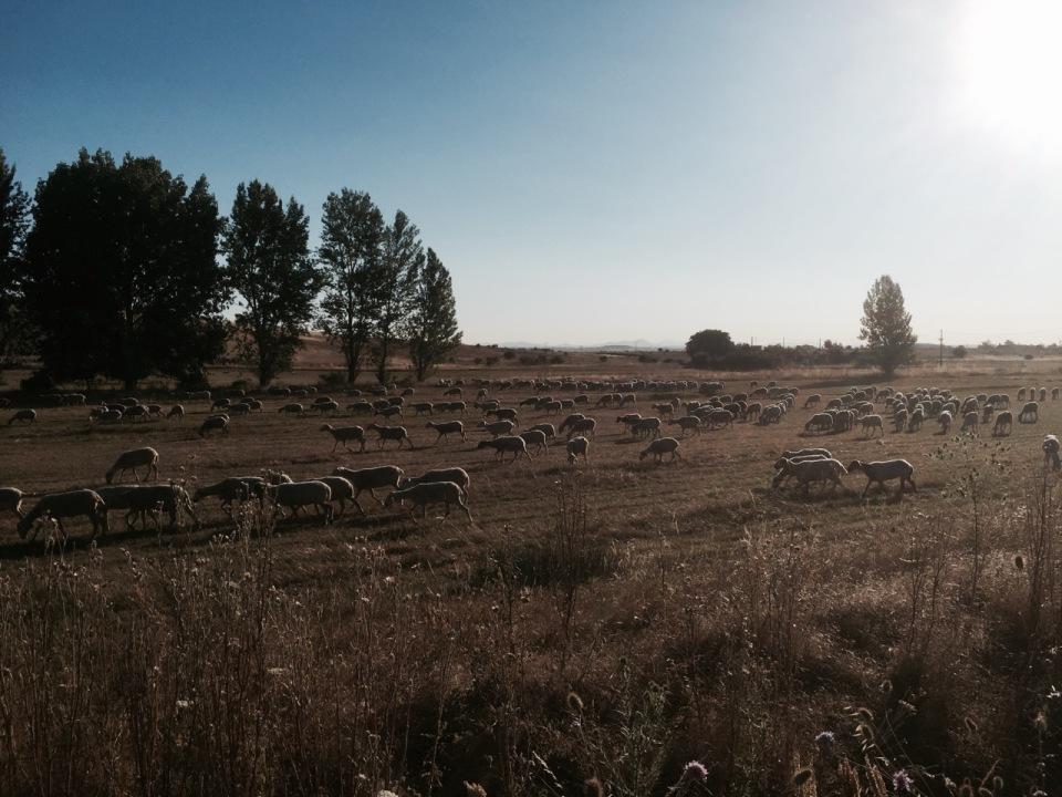 Sheep following shepherd in Southern Spain