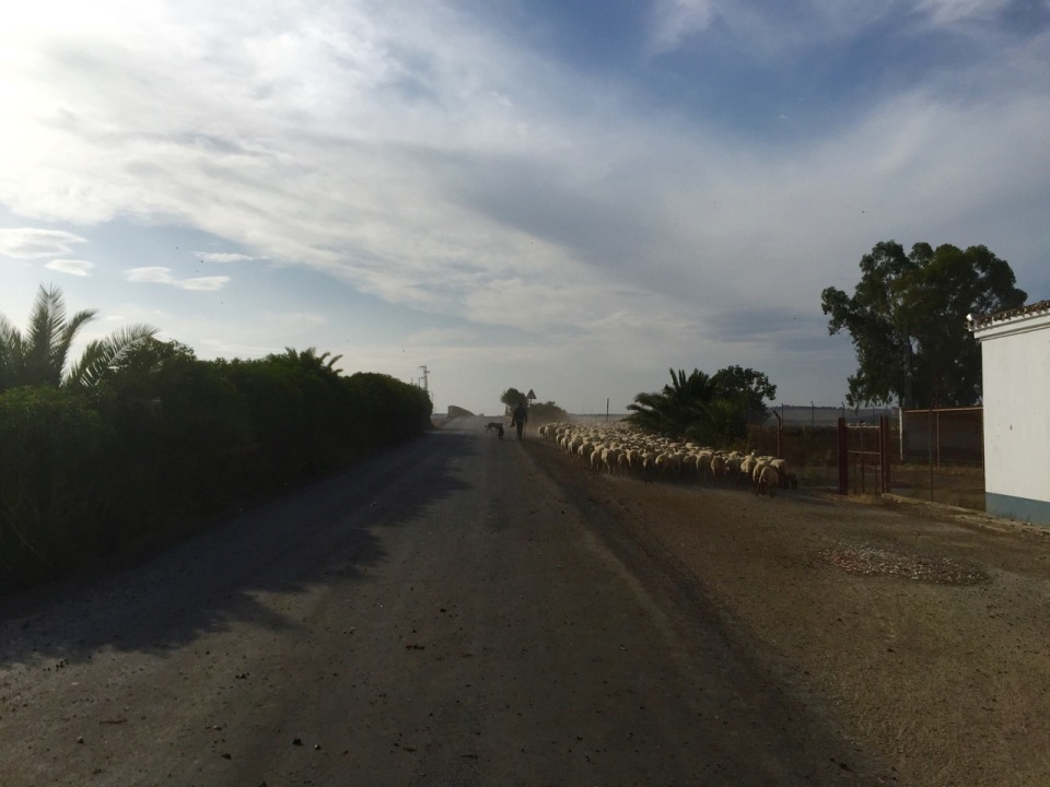 Sheep kicking up a dust cloud in Andalucia, Spain