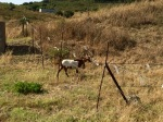 Goat wearing requisite bell in Andalucia Spain