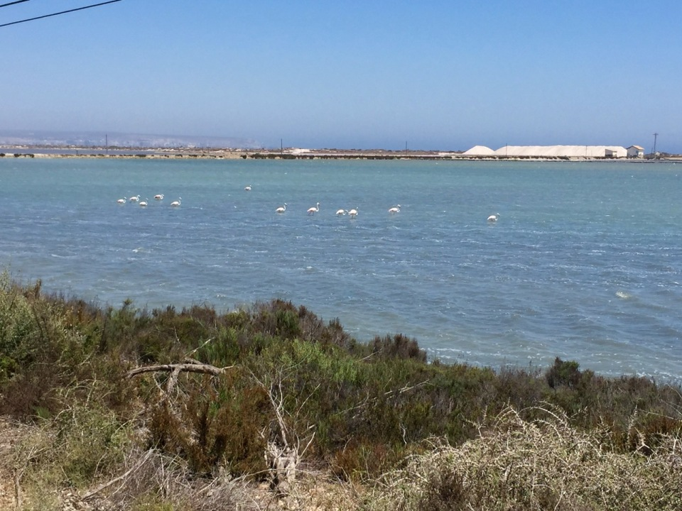 Flamingos in Santa Pola, Spain