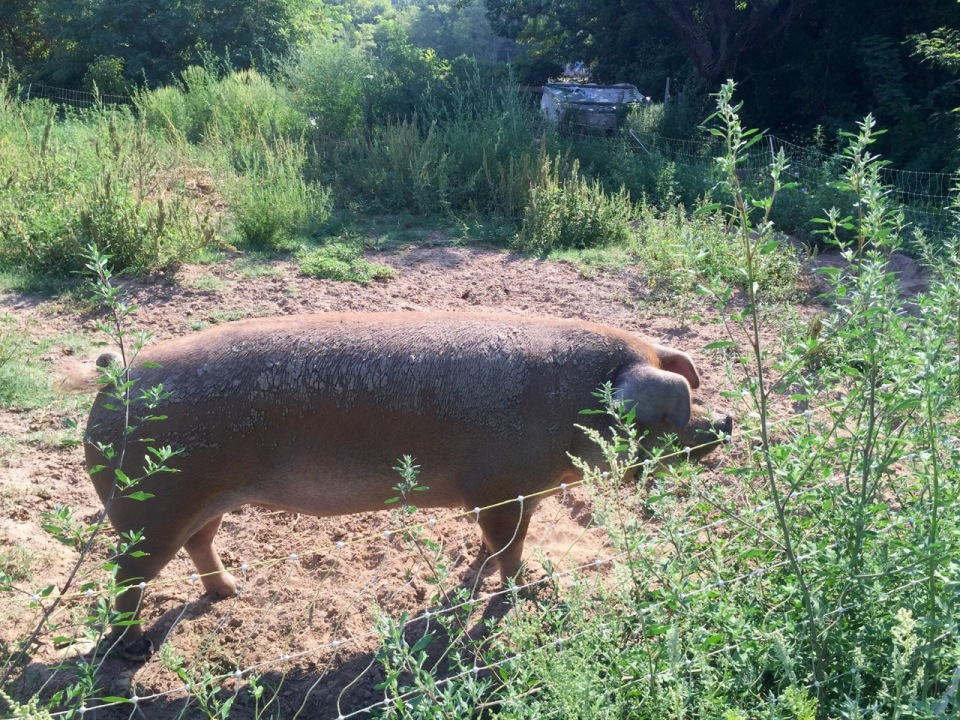 That was one big pig; she escaped once, running amok in the vegetable patch