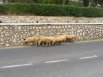 Sheep on the road in Albania