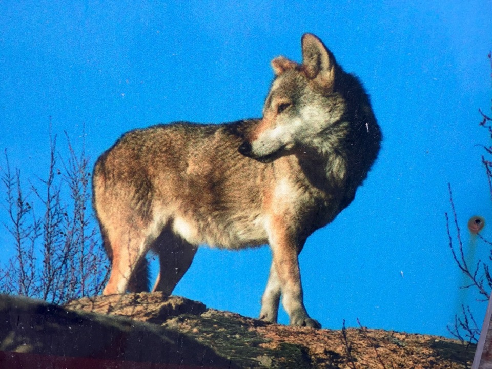 Picture of a picture of a wolf at the sanctuary